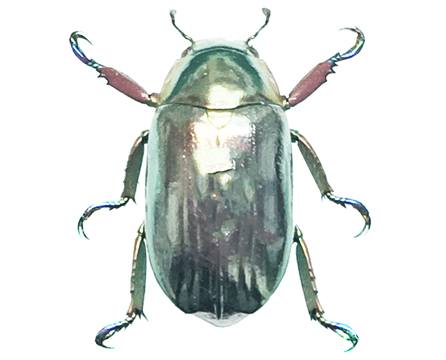 Chrysina Scarabs Beetles