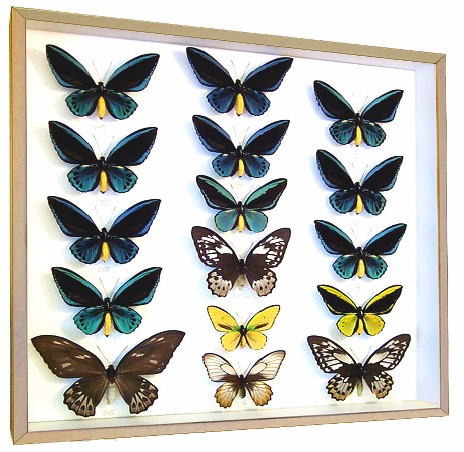 Birdwings | Preserved Ornithoptera