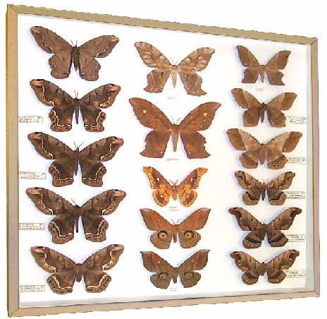 Moths for Sale