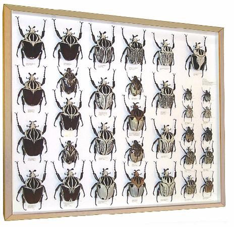 Rhino Beetles & Elephant Beetles