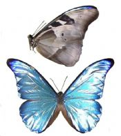 Morpho rhetenor rhetenor (A-)