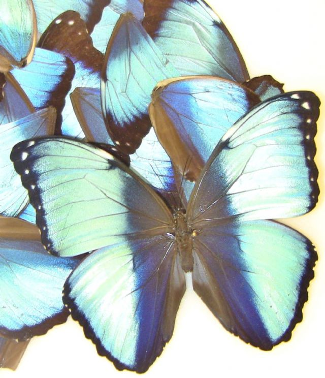 40 Blue Banded Morpho wings for Wing Art Work Projects