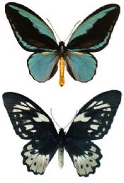 Ornithoptera aesacus PAIR, Large W/Stunning Markings