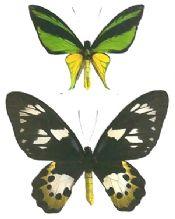 Ornithoptera meridionalis PAIR, MINT CONDITION!