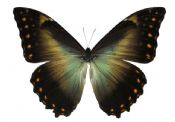 Morpho telemachus A-