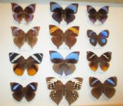 Amathusiidae Beauties - Collection #1 (Spread as Shown)