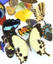 40 Assorted Tropical Butterfly Wings for Wing Art Projects