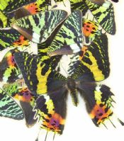 50 Sunset Moth Wings for Wing Art Projects