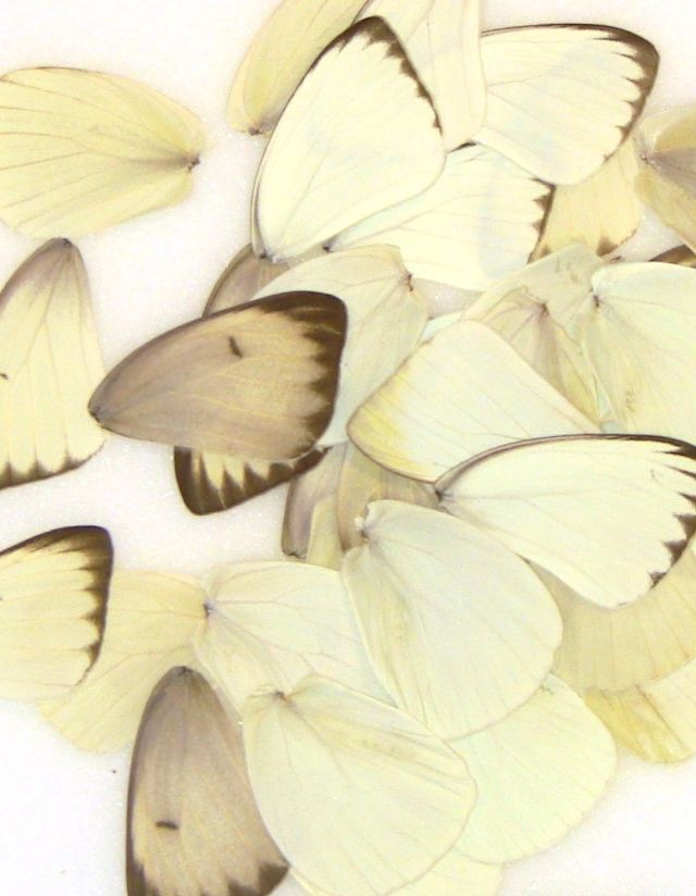 50 Southern White Wings for Butterfly Wing Art Projects
