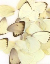 50 Southern White Wings for Butterfly Wings Art Projects