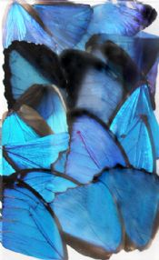 20 Mixed Morpho Butterfly Wings