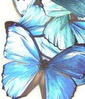 50 Metallic Blue Butterfly Wings