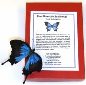 Blue Mountain Swallowtail Spreading Kit