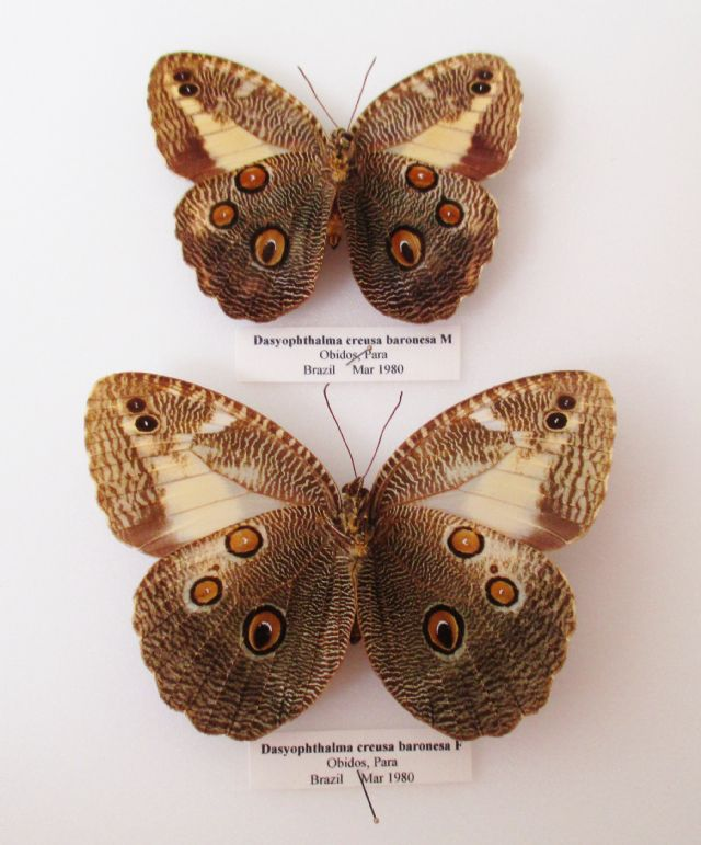 Dasyophthalma creusa baronesa - PAIR (Spread as shown)