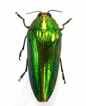 Chrysochroa purpureiventris, a beauty!
