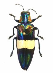 Chrysochroa toulgoeti, color variation