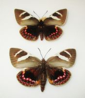 Castnia psittacus - Pair (Spread as Shown)
