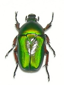 Hetorrhina leonardi (reddish green form)