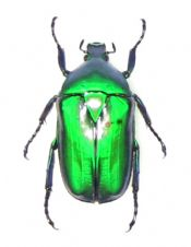 Torynorrhina flammea chicheryi, EMERALD FLOWER BEETLE