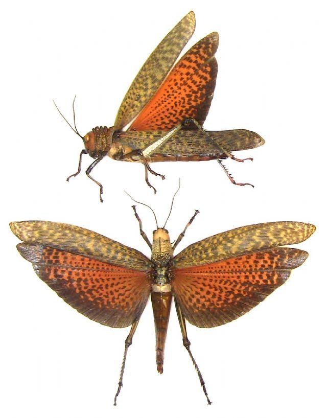 Giant Grasshopper Tropidacris dux Male 80-90mm FAST FROM USA