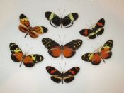 Heliconius Mix of 7 (Spread as shown)