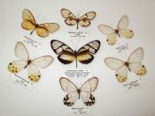 Satyridae w/ Ithomidae Mix (Spread as shown)