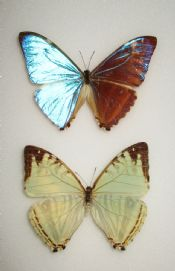 Morpho zephrites PAIR (Spread as shown)