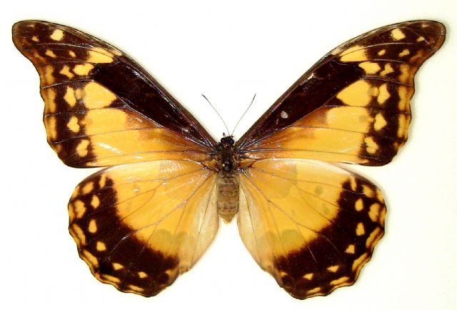 Morpho rhetenor framed mounted butterfly, morphos,