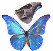 Morpho rhetenor cacica f. paradisiaca transition