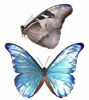 Morpho rhetenor rhetenor
