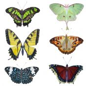North American Butterfly Stickers (6pk)