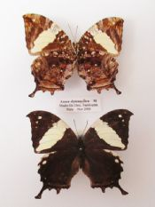 Anaea clytemnestra - PAIR  (Spread as shown)
