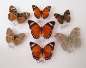 Euphaedra Group of 7 (Spread as shown)