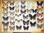 Charaxes Collection  #1 (Spread as shown)