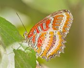 Cethosis biblis - RED LACEWING