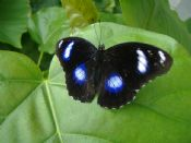 Hypolimnus bolina - BLUE MOON BUTTERFLY