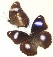 Hypolimnus bolina - BLUE MOON BUTTERFLY BANDED