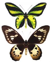 Ornithoptera tithonus misresiana MAGNIFICENT PAIR