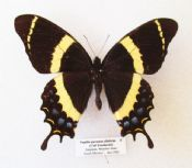 Papilio garamas abderus FEMALE - RARE (Spread as shown)