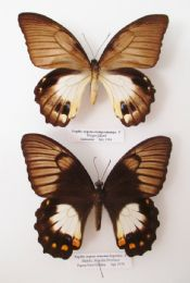 Papilio aegeus ormenus var.  FEMALES (Spread as shown)