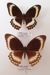 Papilio canopus PAIR (Spread as shown)