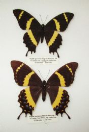 Papilio garamas abderus electryon PAIR - RARE (Spread as shown)