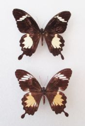 Papilio nephelus albolineata PAIR  (Spread as shown)