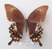 Papilio albinus albinus (Spread as shown)