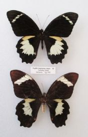 Papilio inopinatus comos - PAIR  (Spread as shown)
