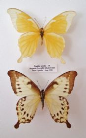 Papilio nobilis - PAIR  (Spread as shown)