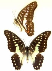 Graphium doson - COMMON JAY