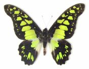 Graphium tynderus, ELECTRIC GREEN SOLDIER