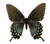 Papilio glaucus glaucus, FEMALE black form