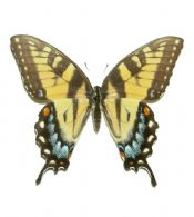 Papilio glaucus glaucus FEMALE yellow form
